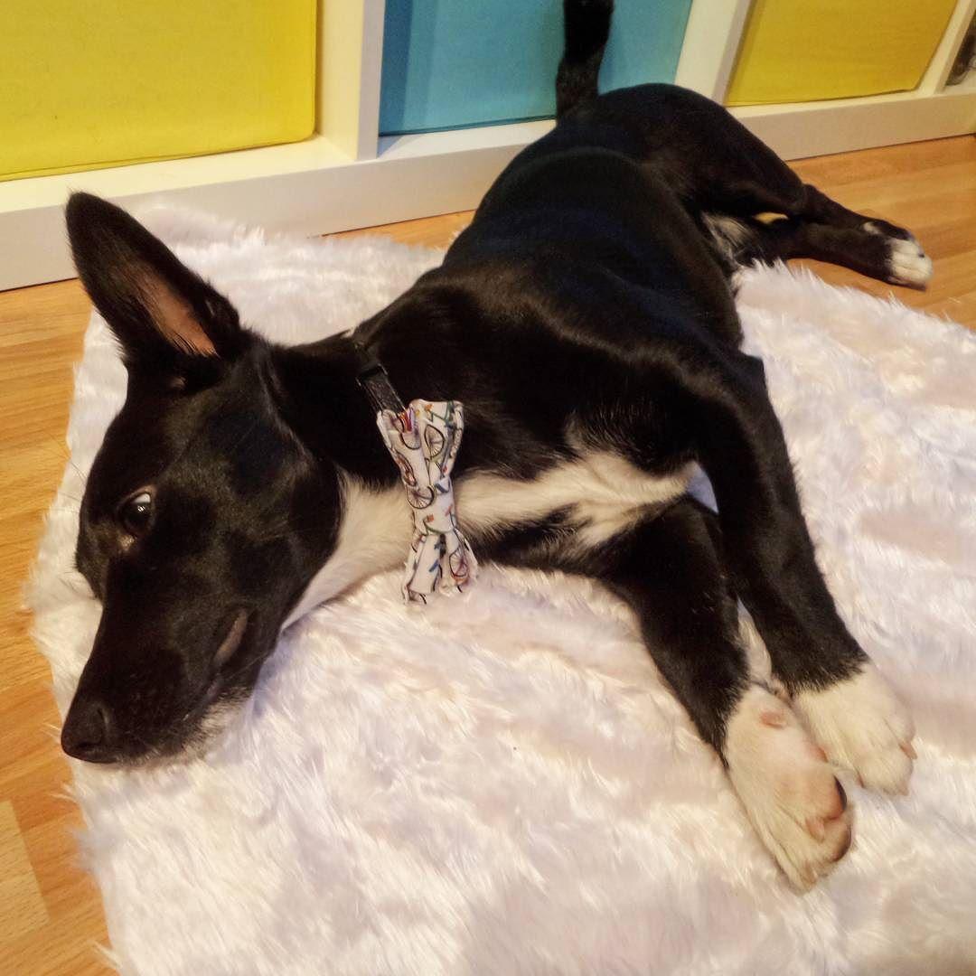 #lenagoroshinaDOGS #lenagoroshina #bowtie #dogsofinstagram #dogpresents #dogaccessories #vienna #wien #hund #hundemode #hundeliebe #hundegeschenk #hundeaccessoires #dogbowties #hundefliege #instadog #dog #hundefotografie #superdog #bowtiesarecool #nasha_Nasha #doginbowtie #dogbowtie #fororder #wienerhund by lena.goroshina_toys