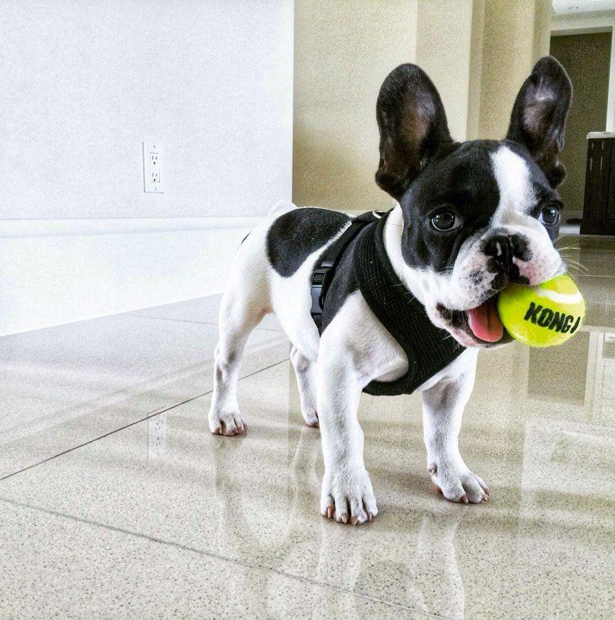 Hobbs Dwayne Johnson S Dog Black Puppy Puppies Dog Life