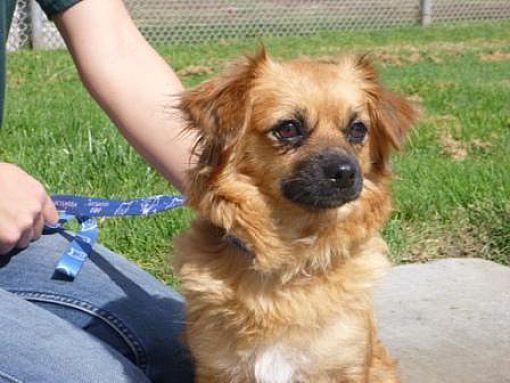 Lathrop, CA Tibetan Spaniel. Meet Daisy a Dog for