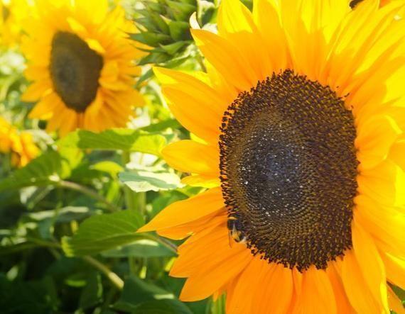 Sunflower Mammoth Grey Striped Sunflower Seeds Beautiful Edible Sunny Heirloo Beautiful Edible Grey In 2020 Mini Sunflowers Sunflower Seeds Planting Sunflowers