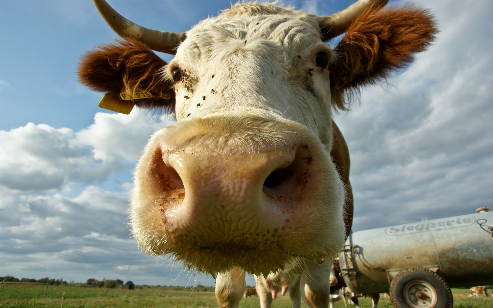 cow wallpapers hd 1600×1000 cow picture wallpapers (44 wallpapers