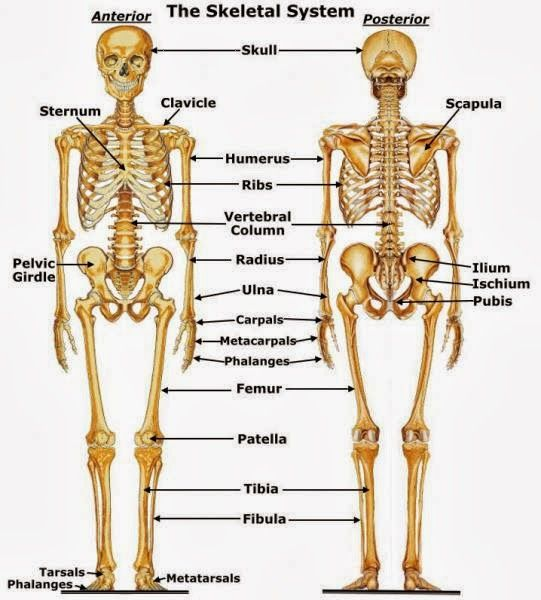 Detailed Human Skeleton Diagram - Anatomy and Physiology | Pinterest