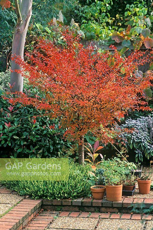 Prunus Kojo No Mai : prunus, Prunus, Incisa, 'Kojo, (same, Little, Twist), Flowering, Trees,, Shade, Shrubs,, Plant, Photography
