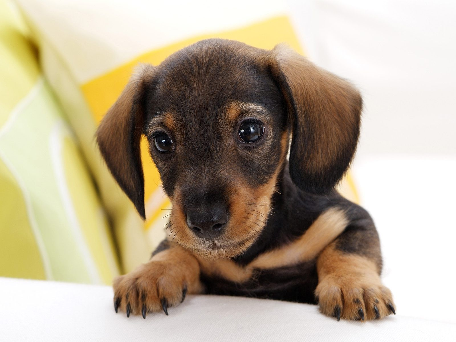 Itus all in the eyes just so adorable pinterest dachshunds
