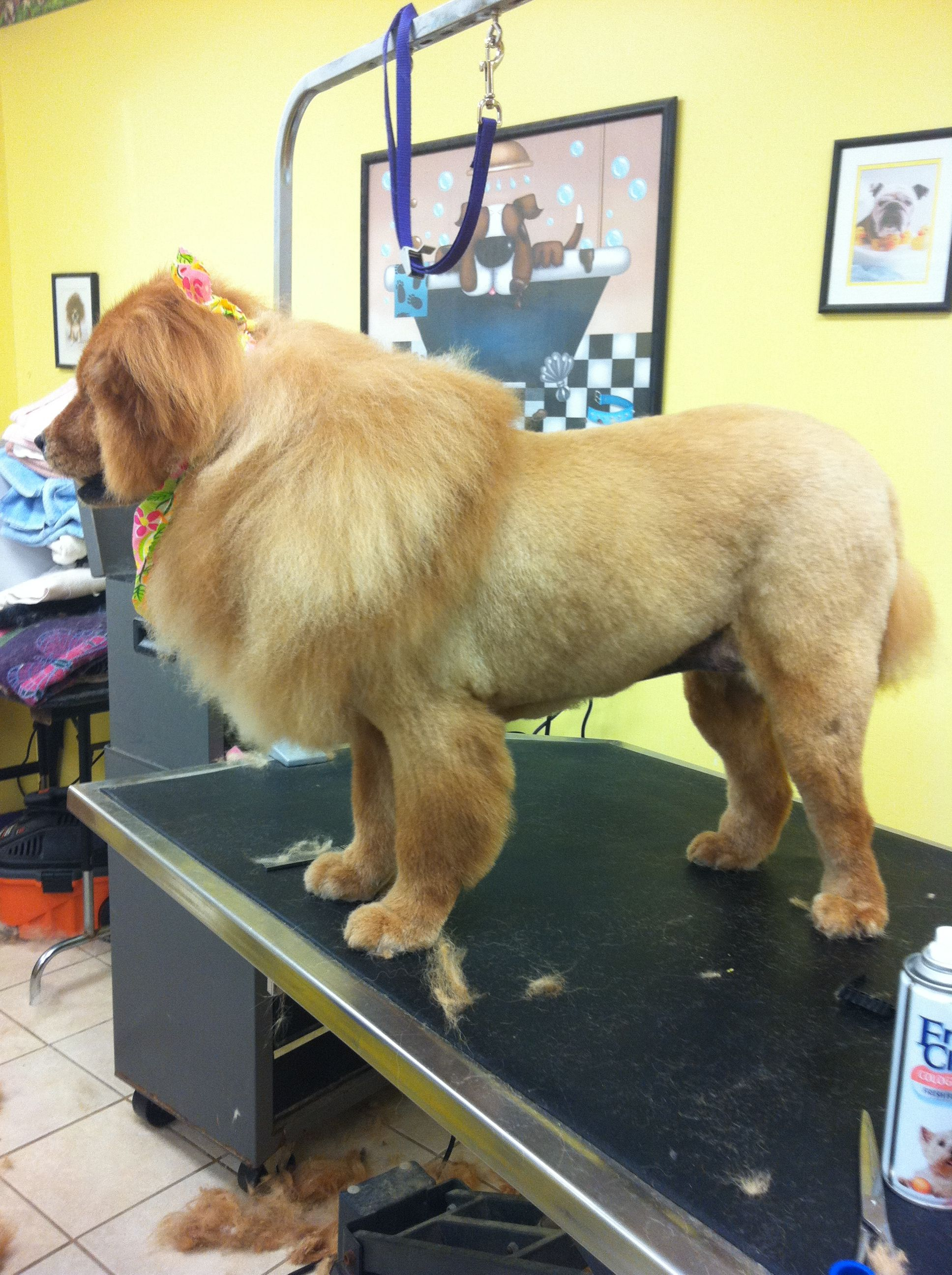 Mr Chow Chow Sporting A Lion Clip Dog Training Tips Easiest