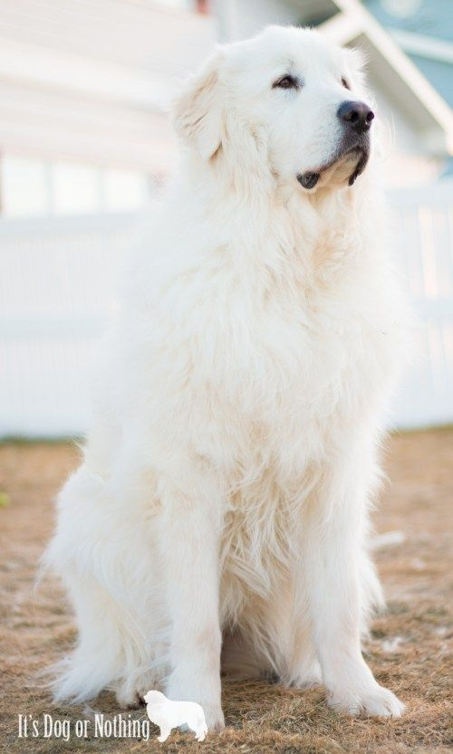 Great Pyrenees Info A Beginner S Guide Great Pyrenees Dog