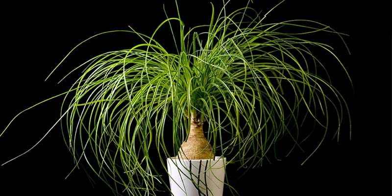 Ponytail Palms How To Grow Take Care Of Beaucarnea Recurvata Ponytail Palm Care How To Grow Taller Palm Plant