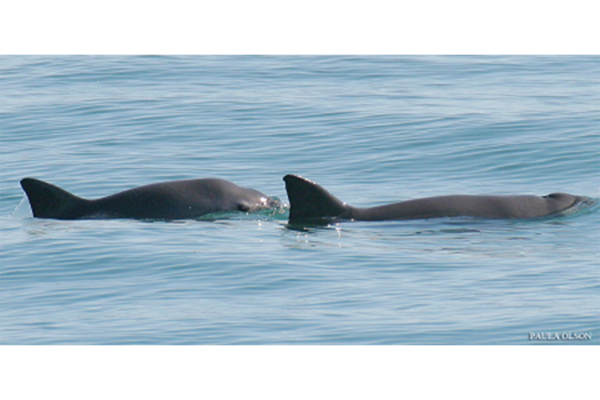 The world's smallest porpoise is in trouble. Can the