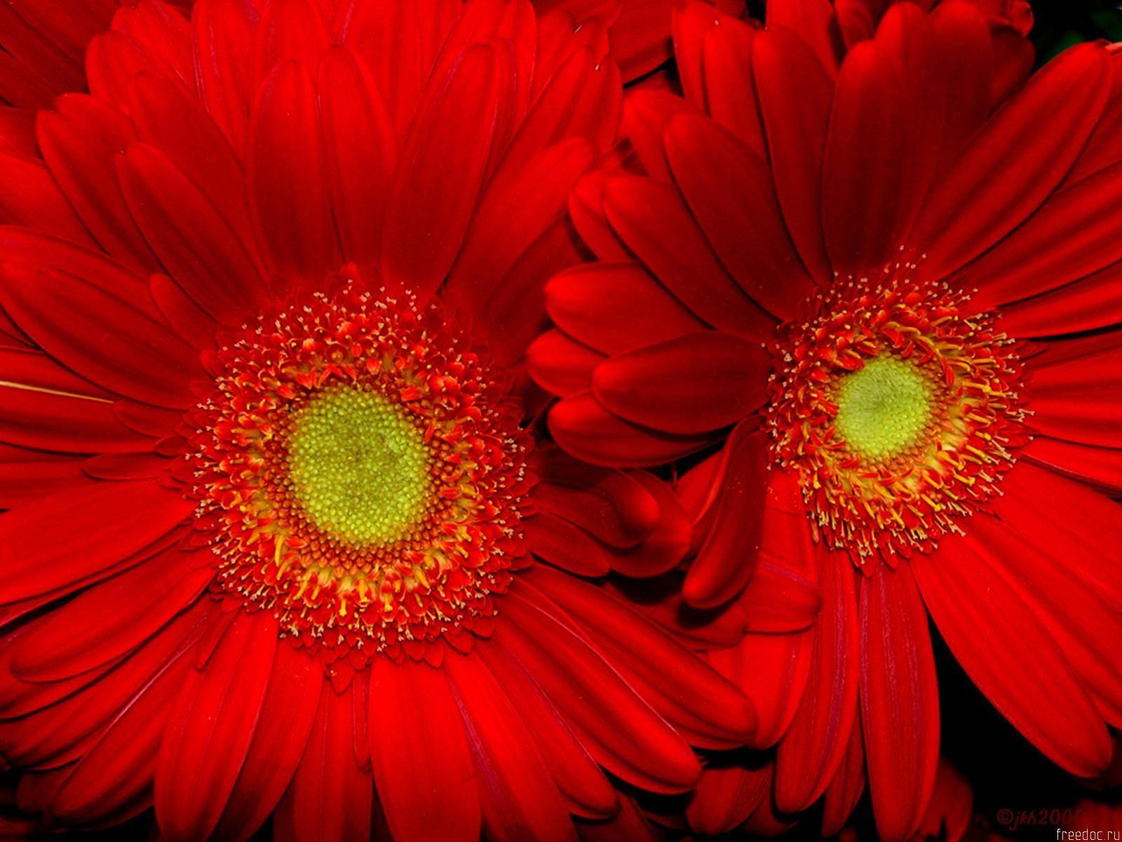 Image detail for Red Sun flower HD Wallpaper, Red Sun