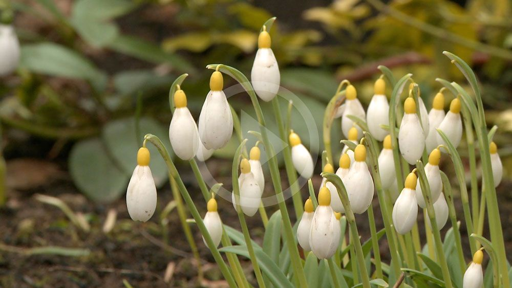 Galanthophile Margaret Owen Talks About Her Obsession Extraordinary Shropshire Snowdrops County Channel Tv Shropshire Shropshire Extraordinary Plants
