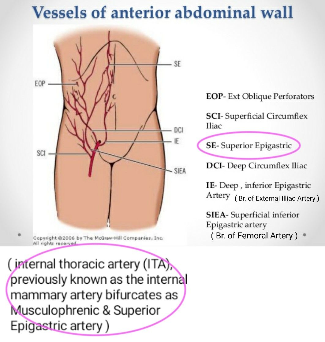 Vessels of Anterior Abdominal Wall ... #Epigastric | Arteries ...