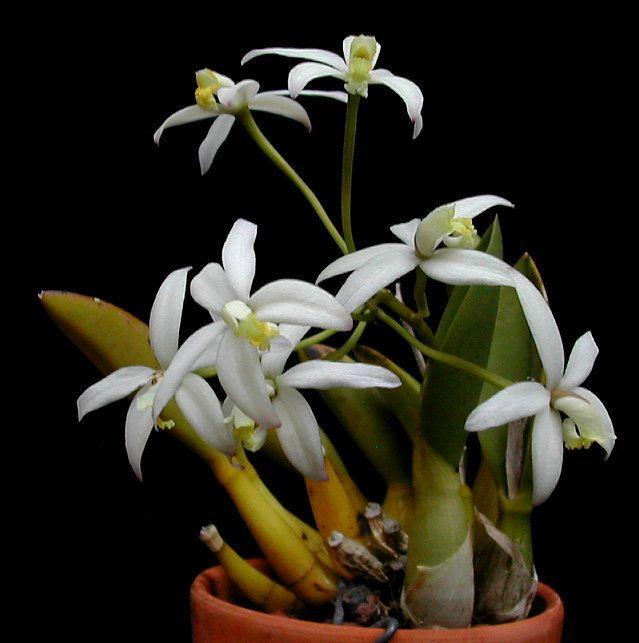 Cattleya regentii-Miniatura Nuevo Stock