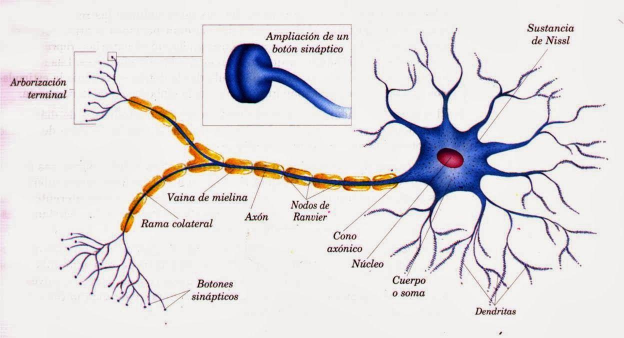 ALEA IACTA EST: Un poquito de Neurología, por favor... (Parte I)