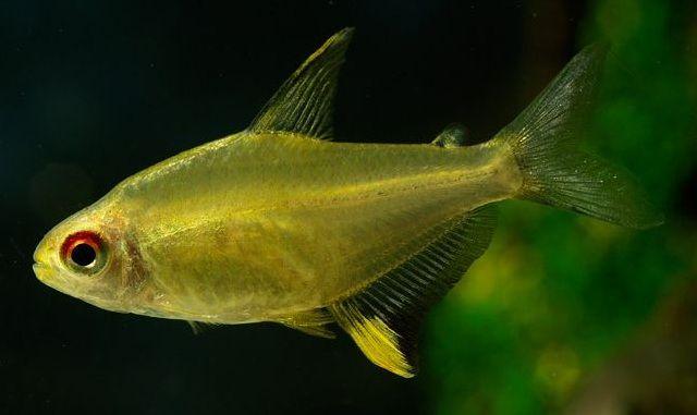 Lemon Tetra Aquarium Fish Tetra Fish Tropical Fish