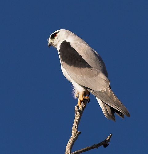 Black-shouldered kite 3 / Australian Kite by aaardvaark, via Flickr.  The Australian Black-shouldered Kite is one of two hovering kites with the letter-winged kite being the other. They look very similar and you can only make a definite distinction during flight by checking the underwing.