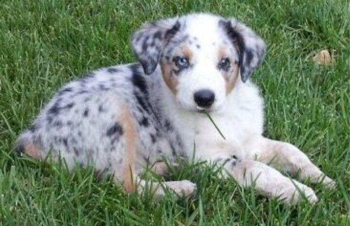 Texas Heeler Heeler Puppies Cute Dogs Cute Animals