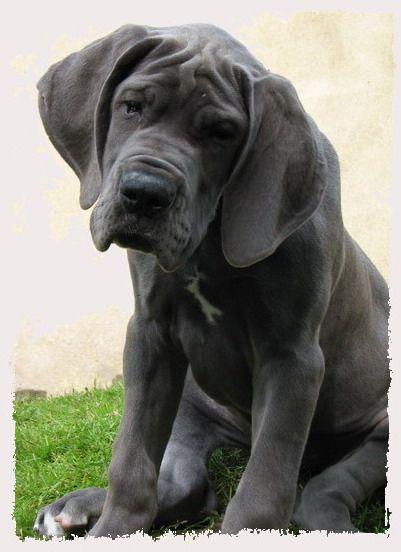 blaue deutsche dogge Deutsche Doggen vom Frankenland