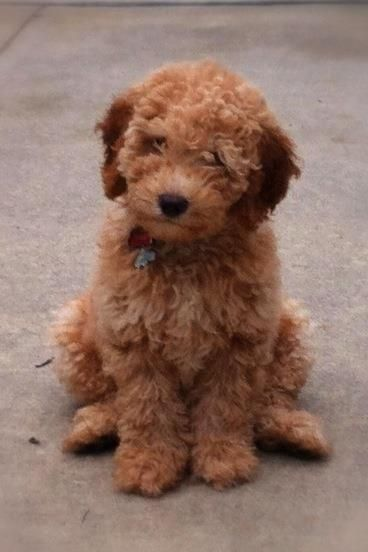 Australian Labradoodle Google Search Labradoodle Cute Dogs