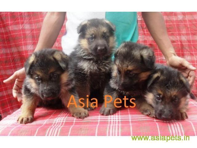 Dogs Pup German Shepherd In Gurgaon Delhi Dwarka