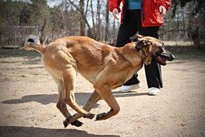 Http Flygirlphotostudio Com Blog P 9009 Rygle American Belgian Malinois Resue Dog 1 2 Years Old Fosterdog American Belgian Malinois Foster Dog Malinois