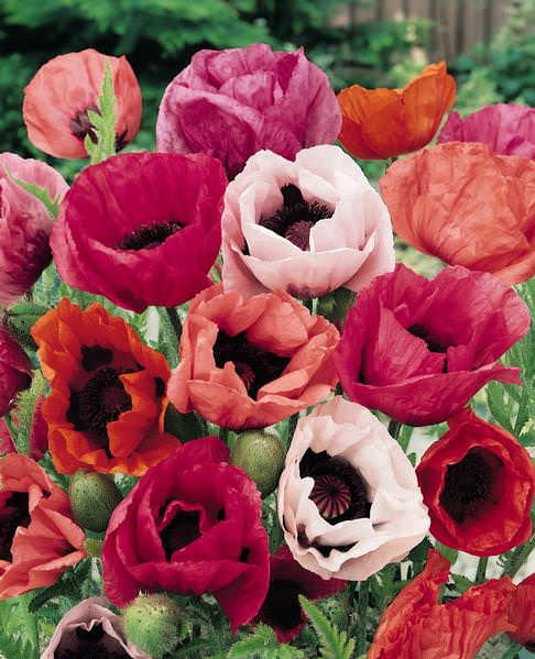 oriental poppy pizzicato winter hardy perennial to zone 3