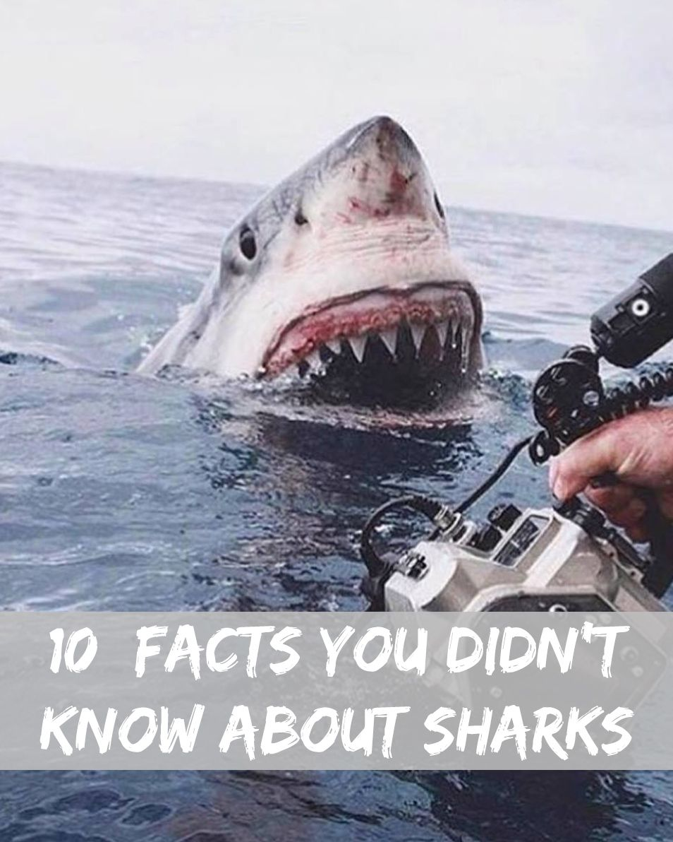 10 Facts You Didn T Know About Great White Sharks Most