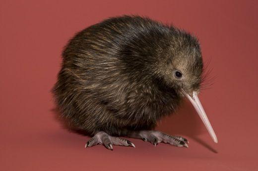 Pin De Mr Galahad En Kiwi Con Imagenes Animales Aves Dibujos