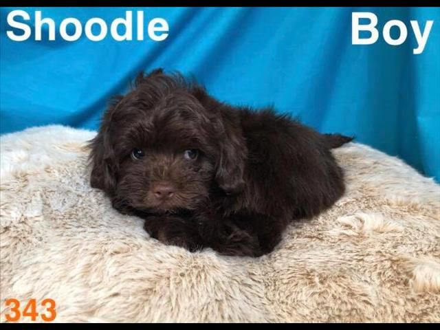 shoodle 1st generation (Shih Tzu x Toy Poodle), in Perth