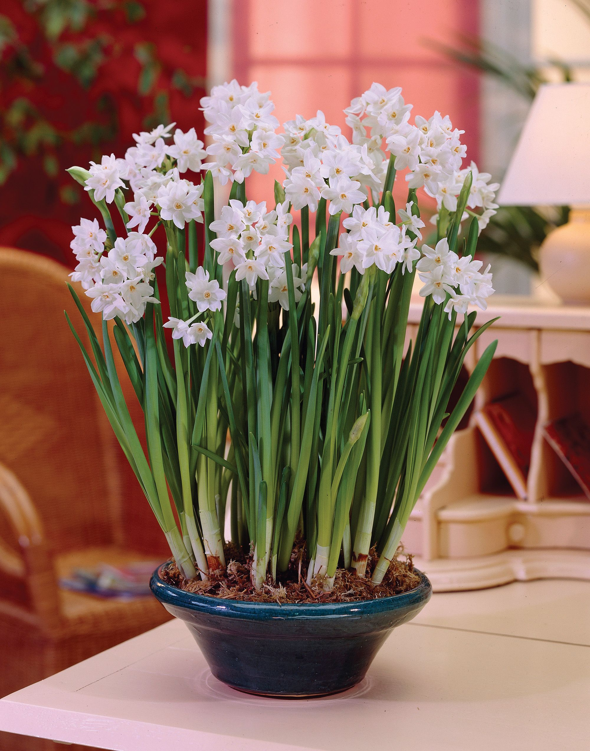 paperwhites images copyrighted by van zyverden and used with
