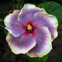 Tahitian Taui.....Linda Lee, Hybridizer...