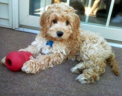 Cockapoo I Found The Puppy That I Want Will It Be Ready For Me