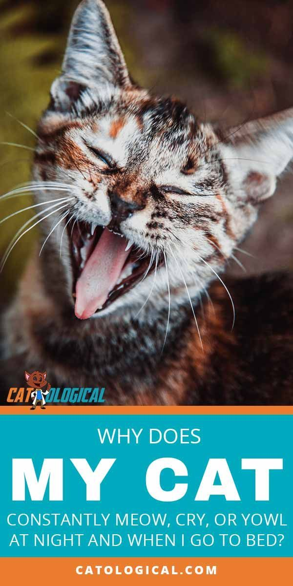 Why Does My Cat Meow, Cry, Or Yowl So Much At Night? Cat