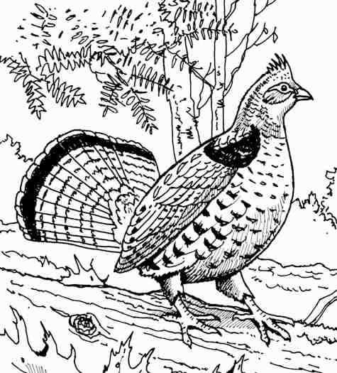 Coloring Grouse Pages Ruffed 2020 Check More At Https Mister