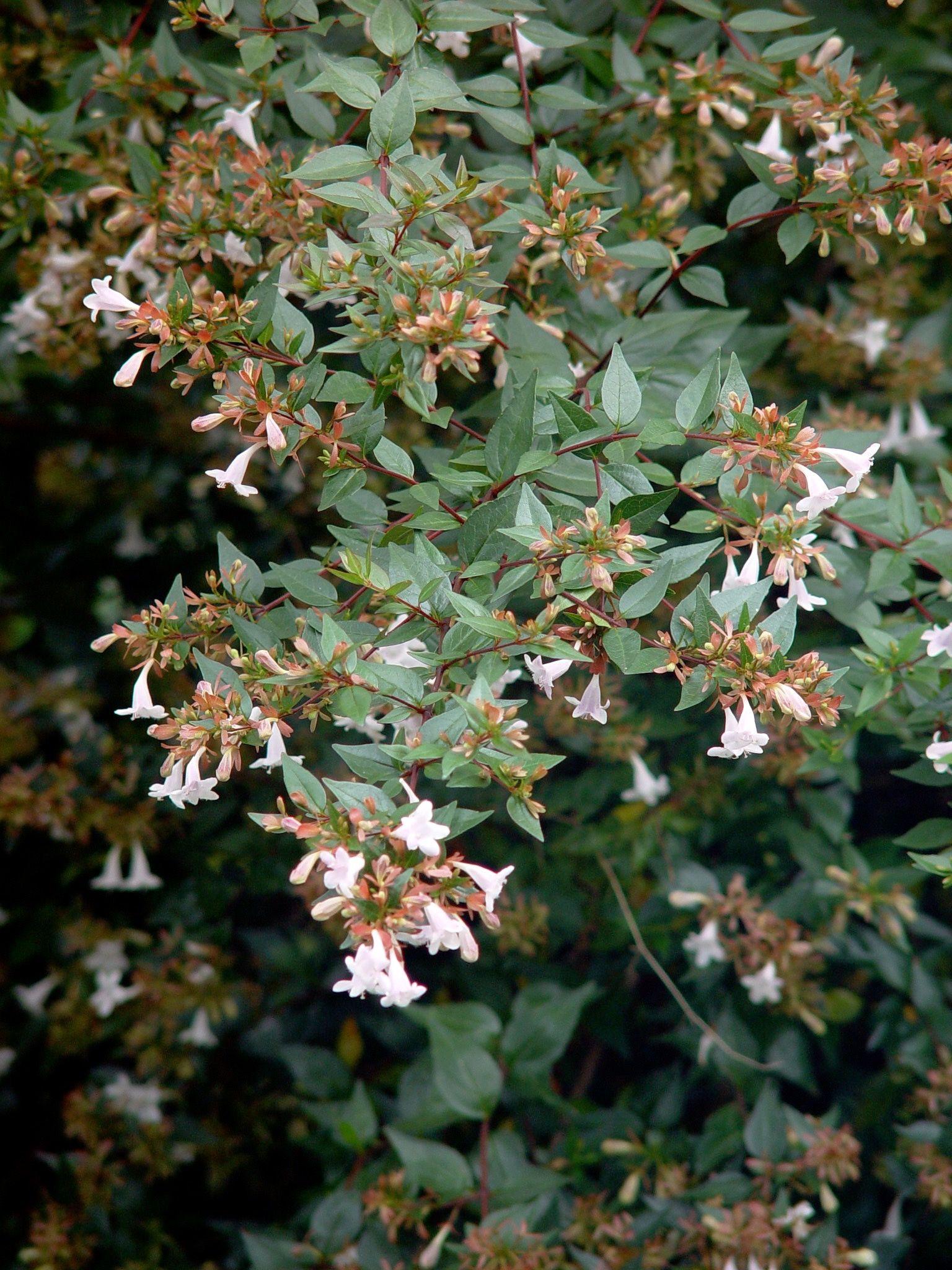 Abelia Grandiflora Lovely Arching Shrub Delicate White Flowers