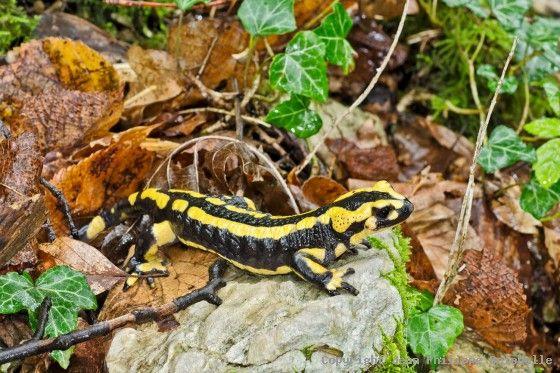 Salamandra salamandra - Salamandre tachetée | Save our Nature ...