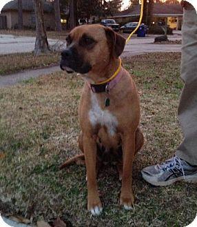 Slidell, LA Mastiff/Boxer Mix. Meet Annie, a dog for
