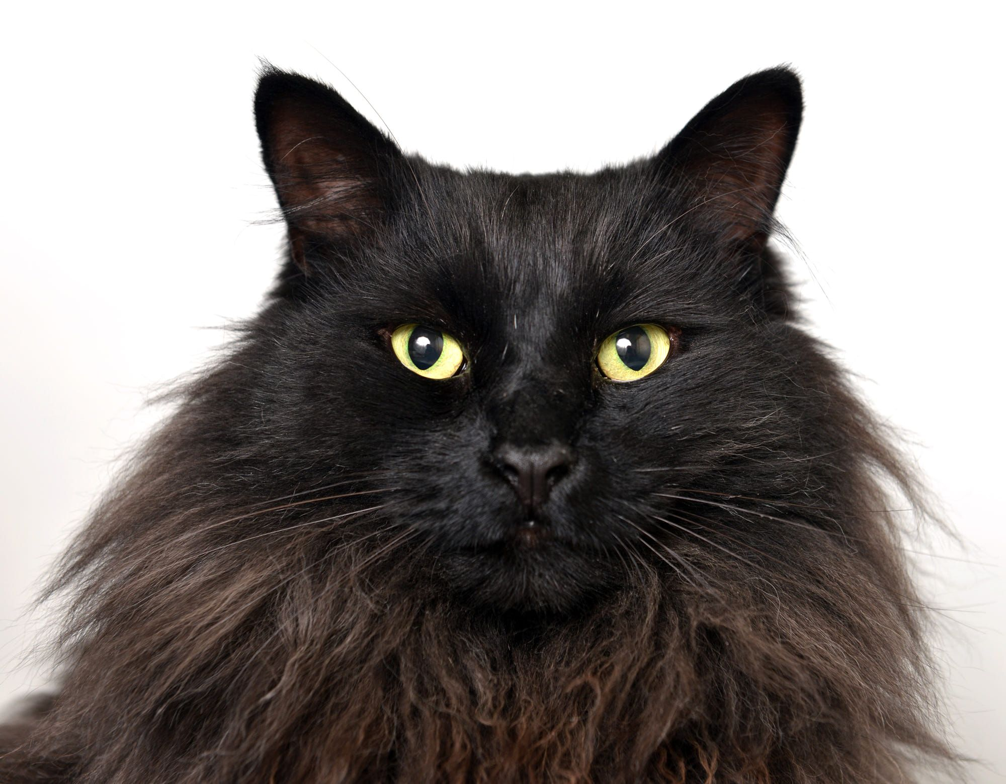 This Is Zeus An Appropriately Named Long Hair Black Cat With Regal Fur And A Bold Demeanor