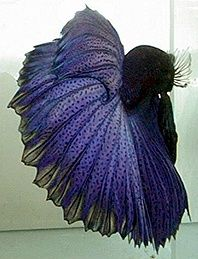 Betta fish look at the spots!  Ridiculously beautiful.   I've got to get a fancy betta.