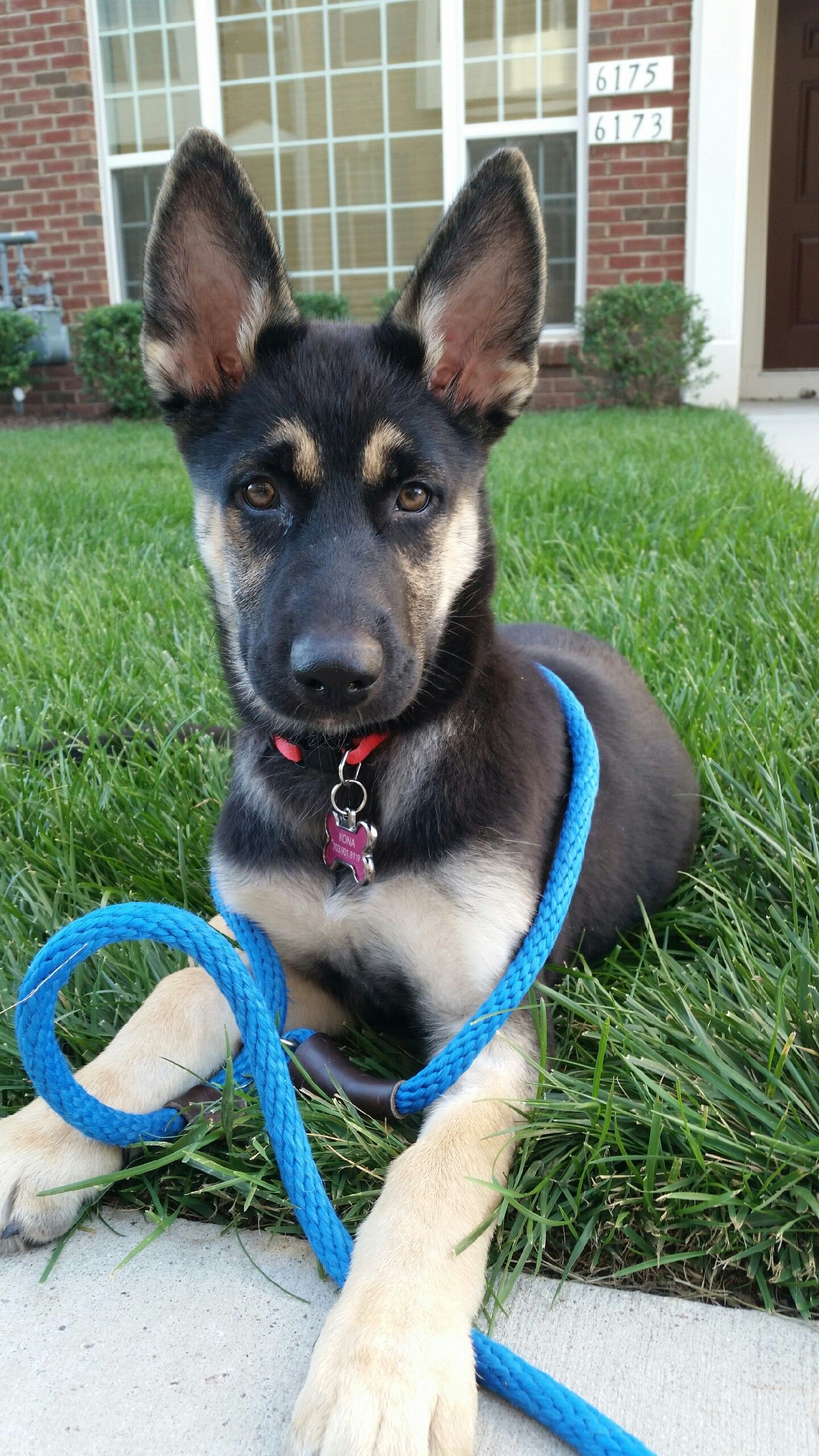 Gerberian Shepsky German Shepherd Husky Mix Cute Dogs And