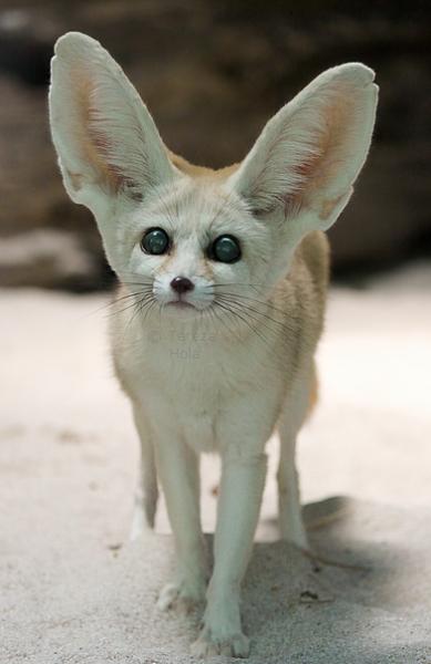 End0skeletal Pet Fox Fennec Fox Animals Beautiful
