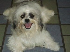Adopt Deacon On Havanese Dogs Dog Cat Dogs