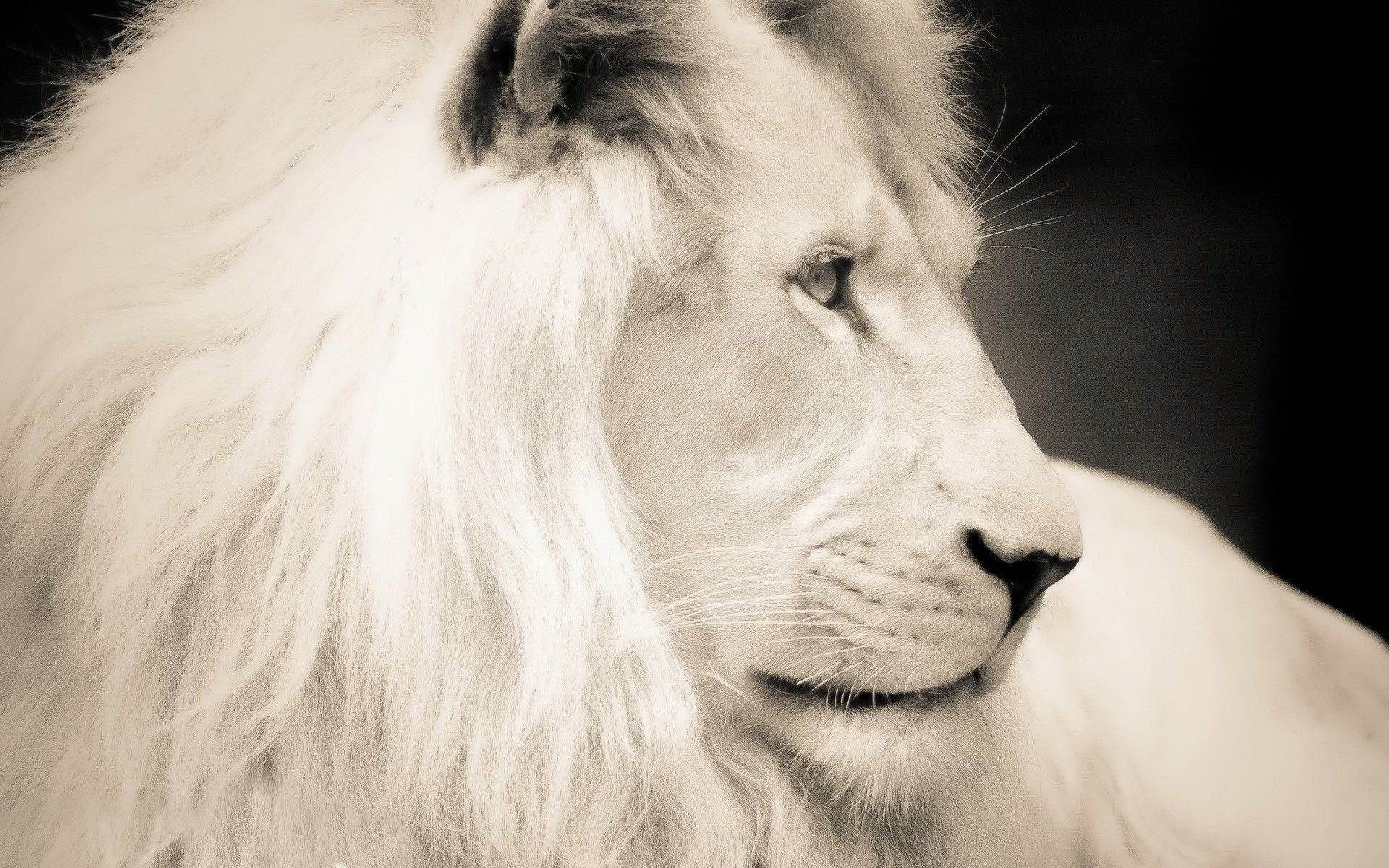 Download HD White Lion Wallpapers For Desktop Background Free 1920x1200 Images