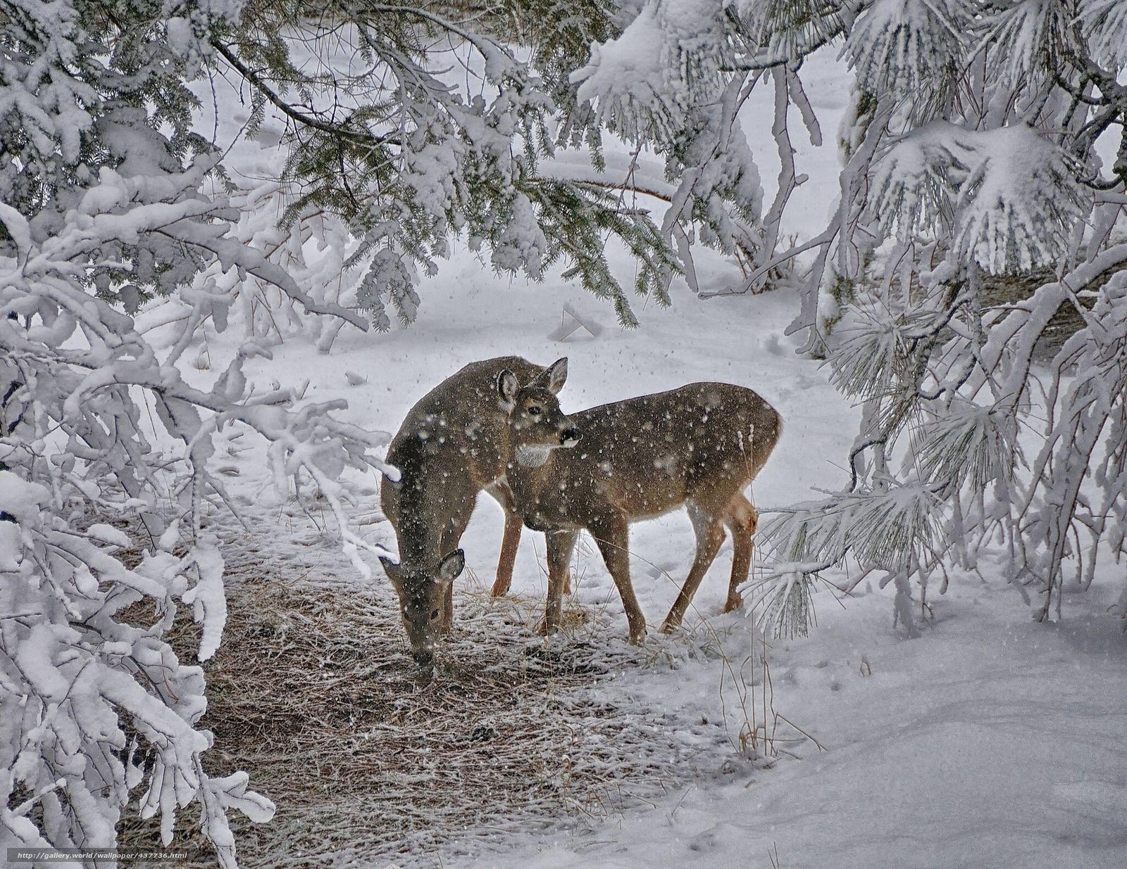 Download Hintergrund Winter, Schnee, Wald, Hirsch Freie desktop ...