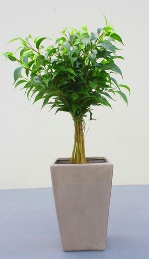 Lieblings Birkenfeige - Pflege | Pflanzen | Ficus, Benjamini und Birke @GI_88