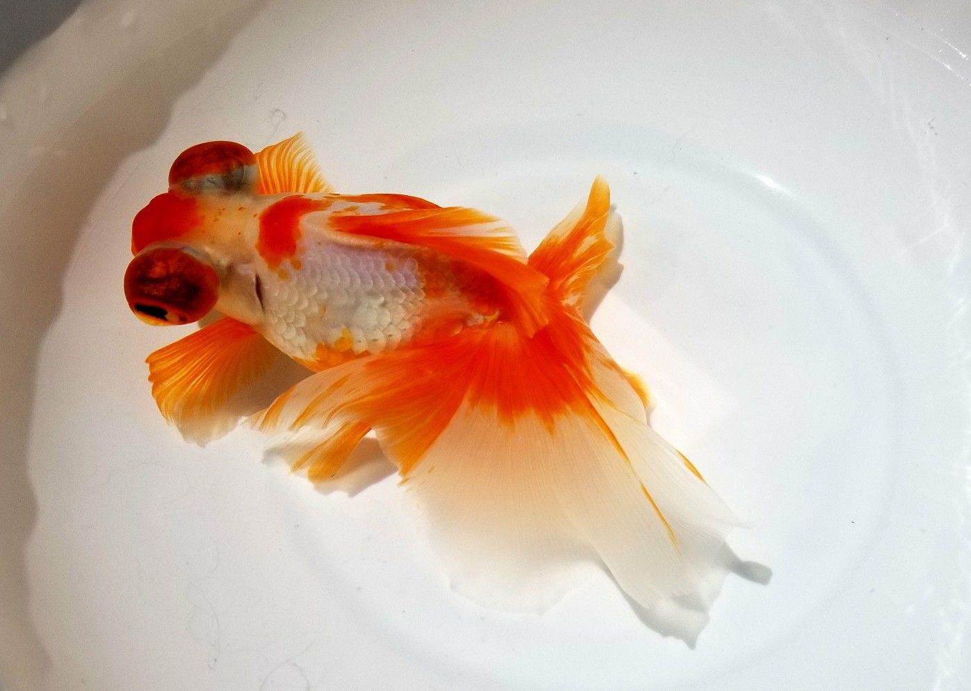 Pin By Jack Lee On 魚 Goldfish Care Goldfish Fish