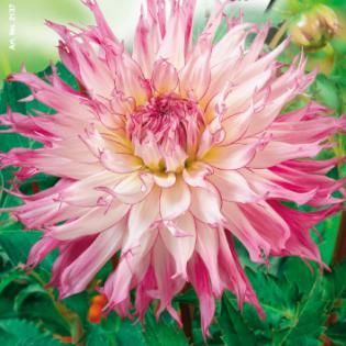 Tuin Webshop - Cactusdahlia laag Snoho Diana - Bloembollen