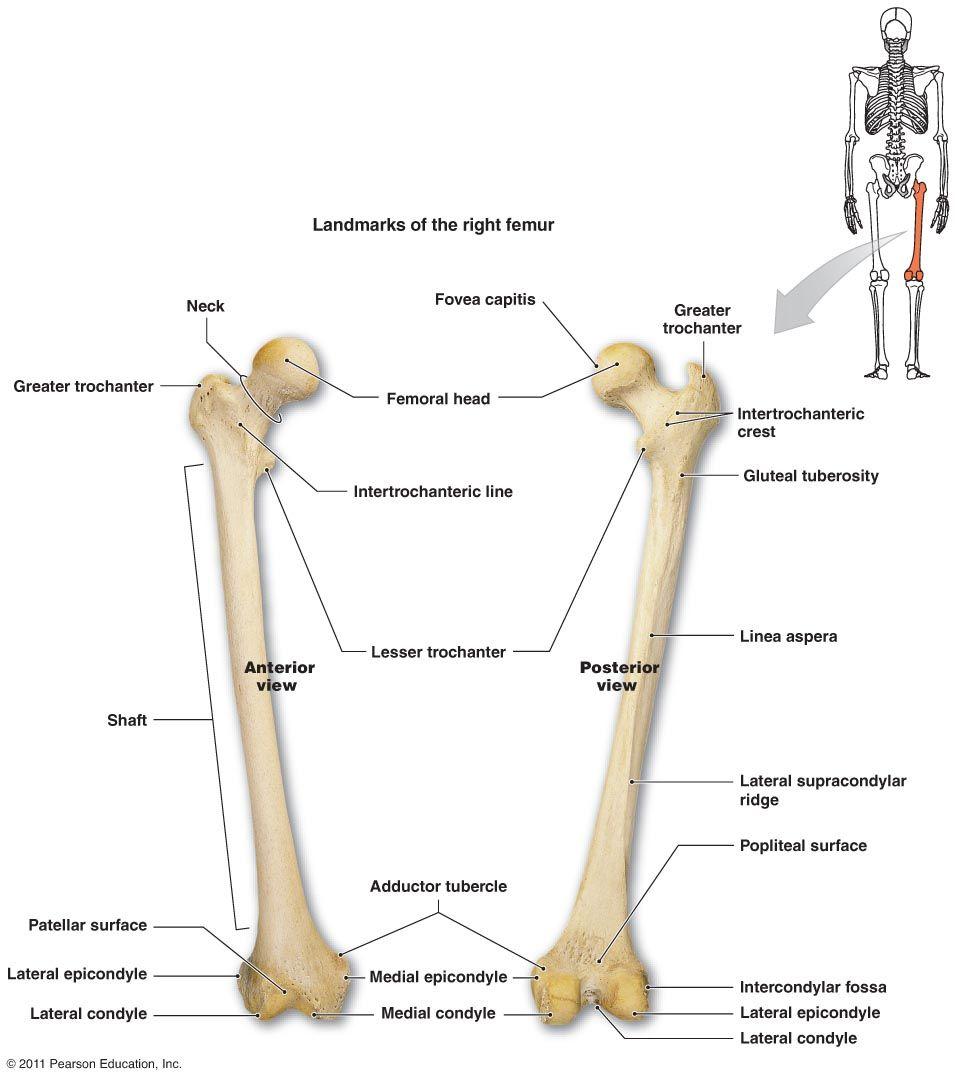 tibia patella femur - Google Search | My field of work | Pinterest