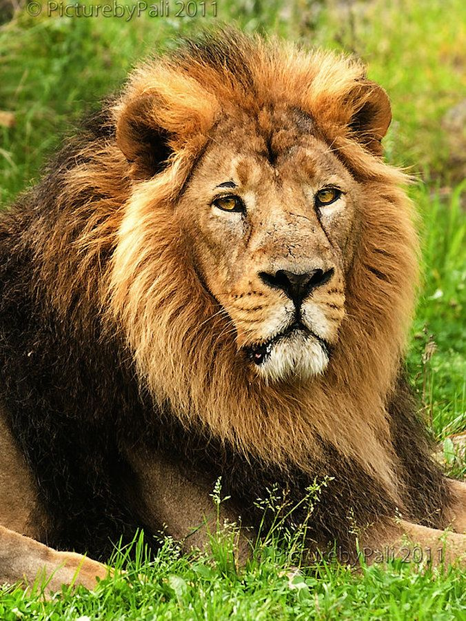 The Asiatic Lion, or Indian Lion, is listed as Endangered