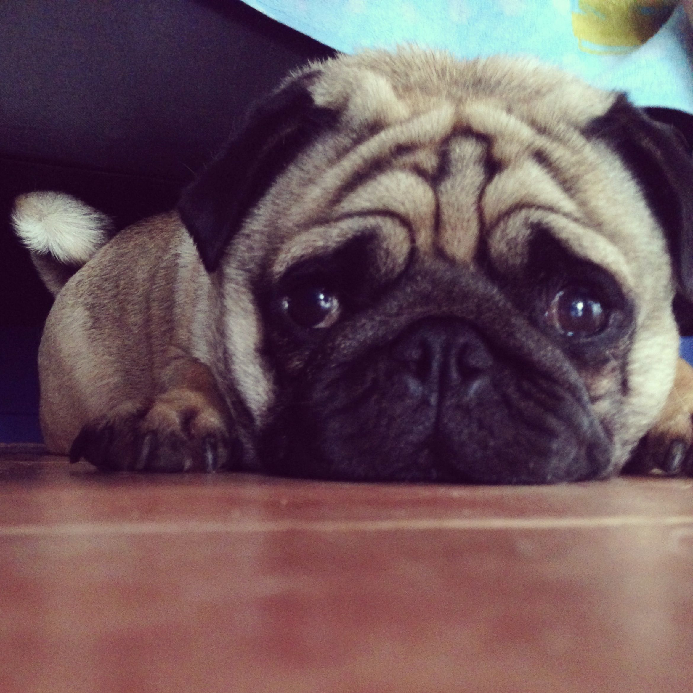 My Baby Pug Meet Riley He Is A 2 Year Old Pure Bred Pug And Is