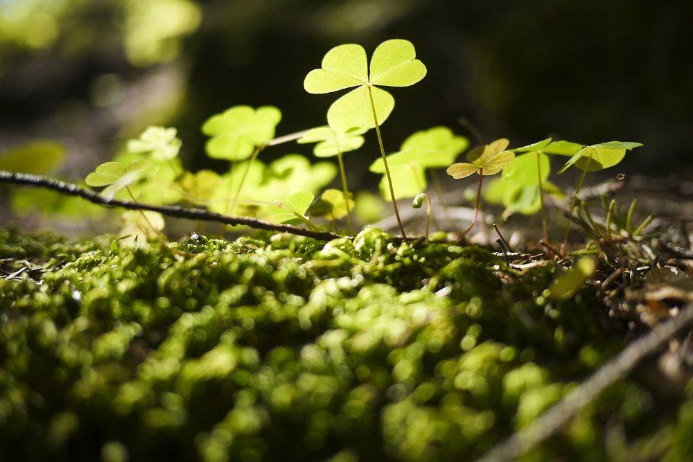 What is Ireland's national flower? eHow UK Ireland